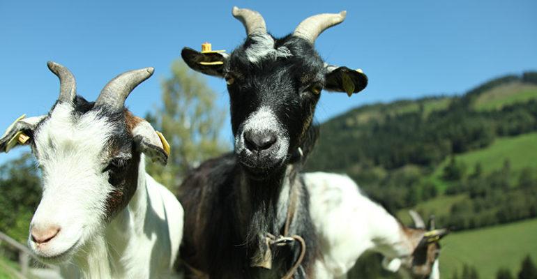 Zwei Ziegen am Astlehenhof